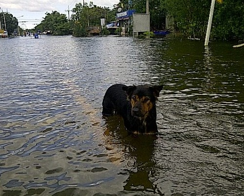 dog_in_flood